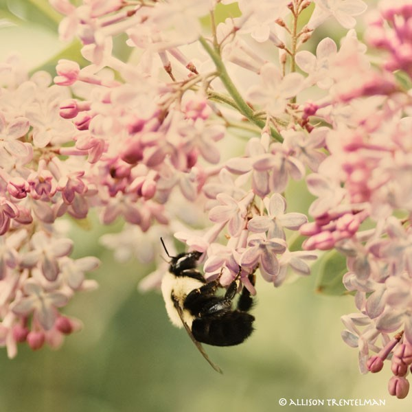 honey bee, lilac, save the bees, green weddings, earth friendly, eco chic