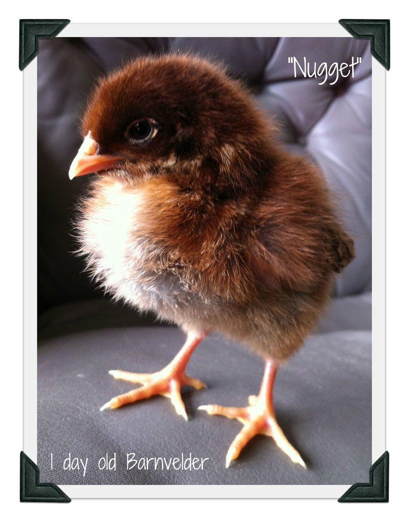Barnvelder chick, backyard chicken
