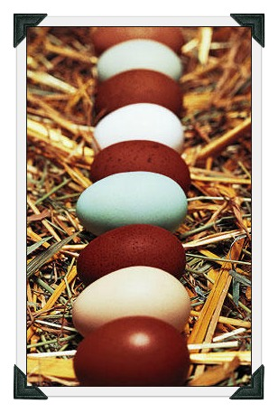 Dark brown and blue eggs