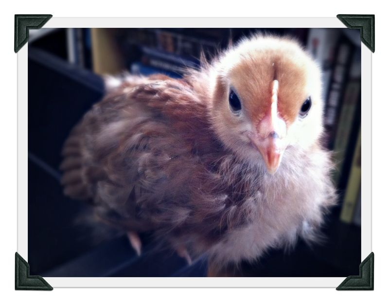 Rhode Island Red chick, backyard chickens