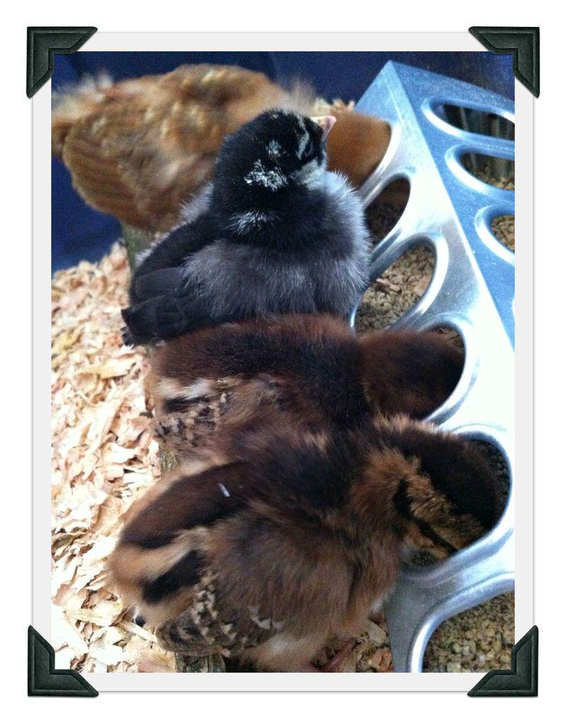 baby chicks feeding, backyard chickens