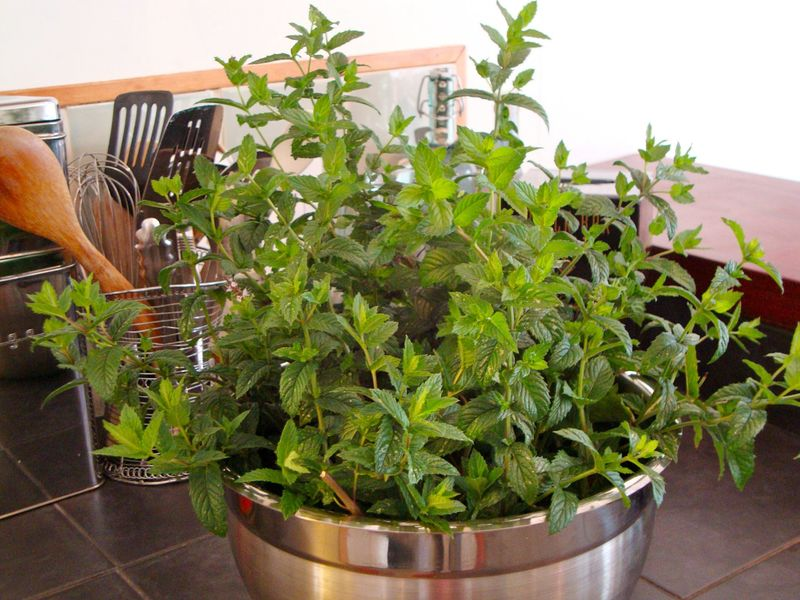 Fresh mint for peppermint schnapps